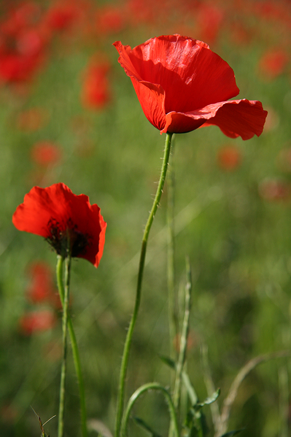 Coquelicots [PHOTO © Laurence FILLON]