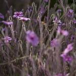 Fleurs carnivores [Photographie © Laurence FILLON]